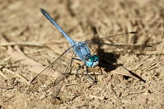 Chalky Percher, (Diplacodes trivialis) (Ant & Steph) Tags: chaulkypercher mareebawetlands dragonflies odonata australian queensland