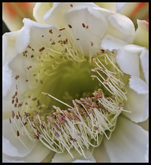 Cactus Flower #1 2017; Deland (hamsiksa) Tags: florida deland horticulture ornamental plants flora vegetation cactus cacti cactaceae flowers blossoms blooms nightblooming macro color stilllife botanicals