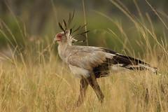Secretary Bird (Sagittarius serpentarius) (Janis May) Tags: africanbird secretarybird kenya masaimara eastafrica