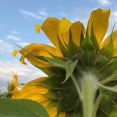 sun salutations (B. jeweled) Tags: sunnycolorado 1stdayofseptember ant highhopes
