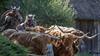 Village Attack (francis.seveyrat) Tags: viking buffle buffalo puydufou attaque attack charge guerrier warrior