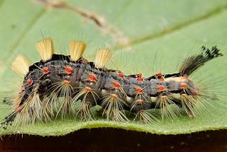 Chenille de Bombyx cul brun Euproctis chrysorrhoea L. (Lépidoptère, Lymantriidæ)