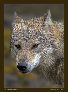 Portrait of a Lady: Coastal Wolf