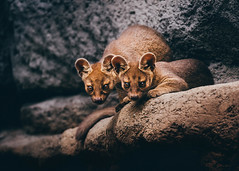 Pair of Pups (Paul E.M.) Tags: fossa madagascar sandiegozooafricarocks pups carnivore