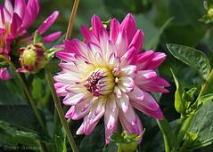 Dahlia (♥ Annieta  pause) Tags: annieta juni 2017 sony a6000 nederland netherlands krimpenerwaard tuin garden jardin bloem flower fleur flora allrightsreserved usingthispicturewithoutpermissionisillegal coth coth5 sunrays5 roze pink