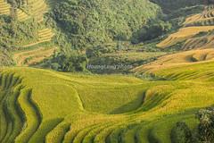 _MG_5134.0911.Lao Chải.Sapa.Lào Cai (hoanglongphoto) Tags: asia asian vietnam northvietnam northweastvietnam landscape scenery vietnamlandscape vietnamscenery vietnamscene terraces terracedfields terracedfieldsinvietnam hillside harvest morning sunny sunnymorning sunlight canon canoneos5dmarkii tâybắc làocai sapa laochải phongcảnh ruộngbậcthang lúachín mùagặt sapamùagặt sapamùalúachín buổisáng nắng nắngsớm sườnđồi canonef70200mmf28lisiiusmlens