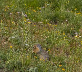 Ground Squirrel - Glacier National Park