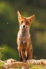 Zorro (Javibeje) Tags: animales animal aragón carnívoros fauna huesca medioambiente mamífero vulpesvulpes zorro zorrocomún fox azeria javier bejarano nikon d7200 sigma 150600 nature wildlife