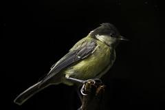 Nachtvogel (Renate Bomm) Tags: postprocessedtothemax sliderssunday 7dwf 2017 balkon canoneos6d ef100mmf28l fauna flickrunitedaward macromondays macroorcloseup meise project365 renatebomm vogel hss