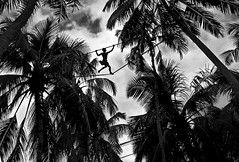 Toddy Tapper (david schweitzer) Tags: toddy tapper balapitiya sinhalese landscapes forest ropewalk silhouettes treetop arrack palm wine harvest shillouette coconut trees outdoor lowcountry southasia srilanka explore ropedancer davidschweitzer documentaryphotography streetphotography humaninterest visualanthropology photojournalism