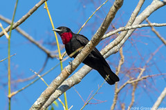Querula purpurata/Purple-throated Fruitcrow