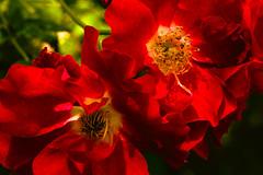 Rote Kletterrose - Red climbing rose (Karabelso) Tags: red rose climping flower macro blossom blume blüte kletterrose rot makro panasonic lumix gx7