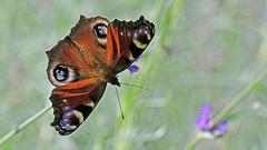 Tagpfauenauge (karinrogmann) Tags: tagpfauenauge schmetterling europeanpeacock butterfly occhiodipavone farfalla nikkormicro105mmf28