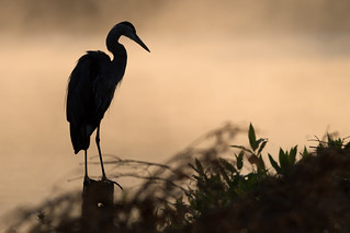 Early Morning Great Blue