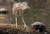My BFF (MelRoseJ) Tags: sanfrancisco california unitedstates nature northerncalifornia birds sonyalpha sony sal70400g sonyilca77m2 a77ii alpha blackcrownednightheron palaceoffinearts turtle