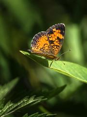 Orange Up (Portraying Life, LLC) Tags: dbg6 da3004 hd14tc k1 michigan pentax ricoh unitedstates butterfly closecrop handheld nativelighting meadow leaf resting