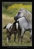 """Apaloosa Foal & Momma"" (Lisa L Kee Photography) Tags: lisalkeephotography lisalkee canon7d canon canon500mmf45 500mmf45 500mm wildhorse horses missouri nature wildlife appaloosa foal colt"