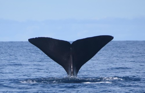 vanderPloeg 2017 (1000) spermwhale (small)