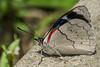 Perisama sp. (PriscillaBurcher) Tags: perisama nymphalidae brushfootedbutterfly mariposasdecolombia butterfliesfromcolombia l1440679