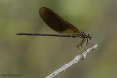 Calopteryx haemorrhoidalis. Macho joven. Young male (Ricardo Menor) Tags: odonata zygópteros calopteryxhaemorrhoidalis chícamo umbría murcia 2016 macho male inmaduro insecto young ríochícamo ríochícamo2016 agosto2016 machoinmaduro