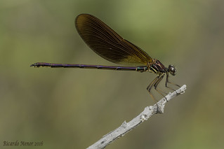 Calopteryx haemorrhoidalis. Macho joven. Young male