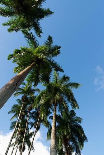 Palmen, Portsmouth, Nordwestküste, Dominica