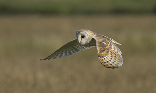 Barn Owl - My best side?