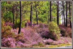 Bruyères en fleur (Les photos de LN) Tags: pins pinède fleurs bruyère nature paysage couleurs rose hourtin aquitaine gironde