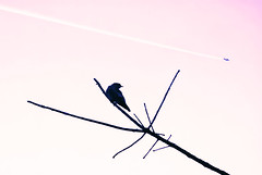 Timely (Carrie McGann) Tags: bird plane contrail tree silhouettes pink black 092617 nikon interesting