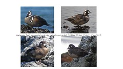 Harlequin Duck Molt (tedell) Tags: harlequin duck adult male molt cayucos estero bluffs state park san luis obispo county california may september 2017 bird