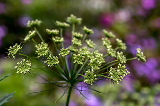 Just a umbel Angelica.