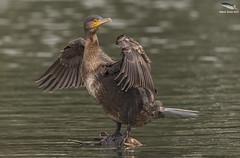 Cormorant (Juvenile) (Mick Erwin) Tags: nikon afs 600mm f4e fl ed vr lens d810 mick erwin stoke trent staffordshire wildlife nature