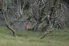 R17_0508 (ronald groenendijk) Tags: cronaldgroenendijk 2017 rgflickrrg vulpesvulpes animal fox groenendijk holland nature natuur natuurfotografie netherlands outdoor rodevos ronaldgroenendijk vos wildlife