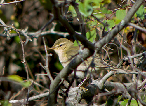 Пеночка-весничка / Phylloscopus trochilus / Willow warbler / Брезов певец / Fitis