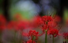 flower 1308 (kaifudo) Tags: tokyo tachikawa japan showakinenpark flower redspiderlily lycorisradiata 東京 立川 国営昭和記念公園 彼岸花 ヒガンバナ 曼珠沙華 nikon d810 nikkor afs 105mmf14eed 105mm