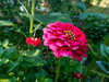 Zinnia (Elise de Korte) Tags: fr france frankrijk ldf lafrance bloei bloeien bloem bloemen fleur fleurs flower flowers garden groentetuin jardin moestuin plant potager tuin vegetablegarden veggiegarden zinnia