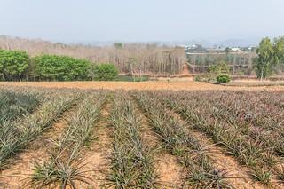 mae fah luang - thailande 13
