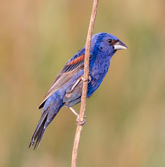 Blue Grosbeak (tresed47) Tags: 2017 201707jul 20170720bombayhookbirds birds bluegrosbeak bombayhook canon7d content delaware folder grosbeak july peterscamera petersphotos places season summer takenby us ngc
