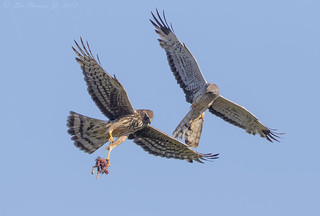 Northern Harrier food exchange 3