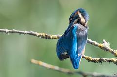 Kingfisher (cliveyjones) Tags: kingfisher hamwall rspbhamwall somersetlevels