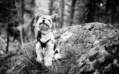 Our lovely Dog (codeseven) Tags: yorkie lucy dog puppie yorkies biewer terrier blackandwhite nature animal smalldog small canine portrait hiking hikingwithdogs