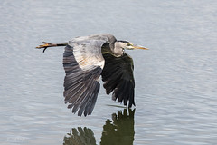 Wing Drag...... (Linda Martin Photography) Tags: ardeacinerea hampshire blashfordlakes greyheron wildlife birds uk nature wingdrag ngc coth coth5 npc sunrays5