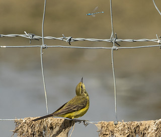 Yellow Wagtail looking for a snack