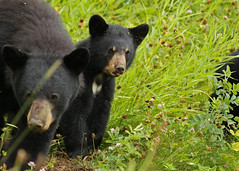 Black Bear Cub...#14 (Guy Lichter Photography - 3.5M views Thank you) Tags: canon 5d3 canada manitoba rmnp wildlife animal animals mammal mammals bear bears blackbear cub