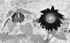 Zonnebloemen (Floortje Walraven) Tags: bekhofweg zonnebloemen sunflower flower blackwhite zwartwit invert omkeren photoshop bloemen
