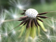 Blown away (BeaLeiderman) Tags: dandelion seeds wind bald flower nature