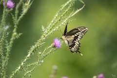 Swallowtail on Thistle (NicoleW0000) Tags: giantswallowtail thistle bokeh dof outdoors nature flora wildflowers butterfly butterflies giant swallowtail giantswallowtailbutterfly