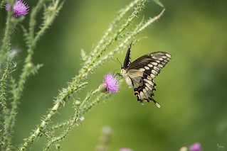 Swallowtail on Thistle