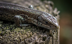 Common Lizard (Almac1879) Tags: seasons summer wild wildlife yorkshire lacertavivipara viviparous scales commonlizard lizard reptile allerthorpe yorkshirewolds animalsbirds