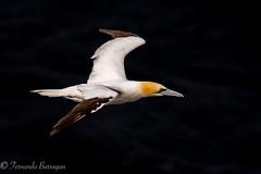 alcatraz en fondo negro (barragan1941) Tags: alcatraz aves avesenvuelo fauna islandia seelife